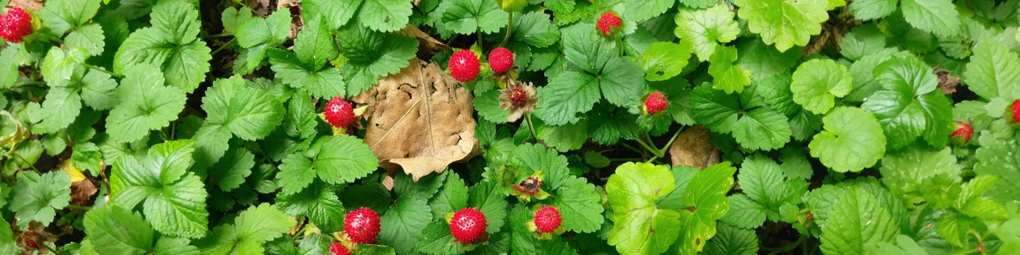 Wild strawberies in the Belgian Voer region